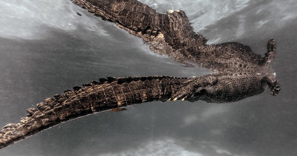 alligator001.jpg