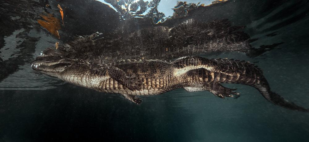 alligator002.jpg