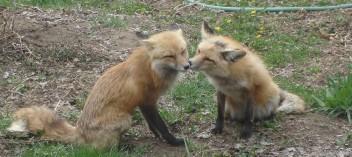 foxesgarden.jpg
