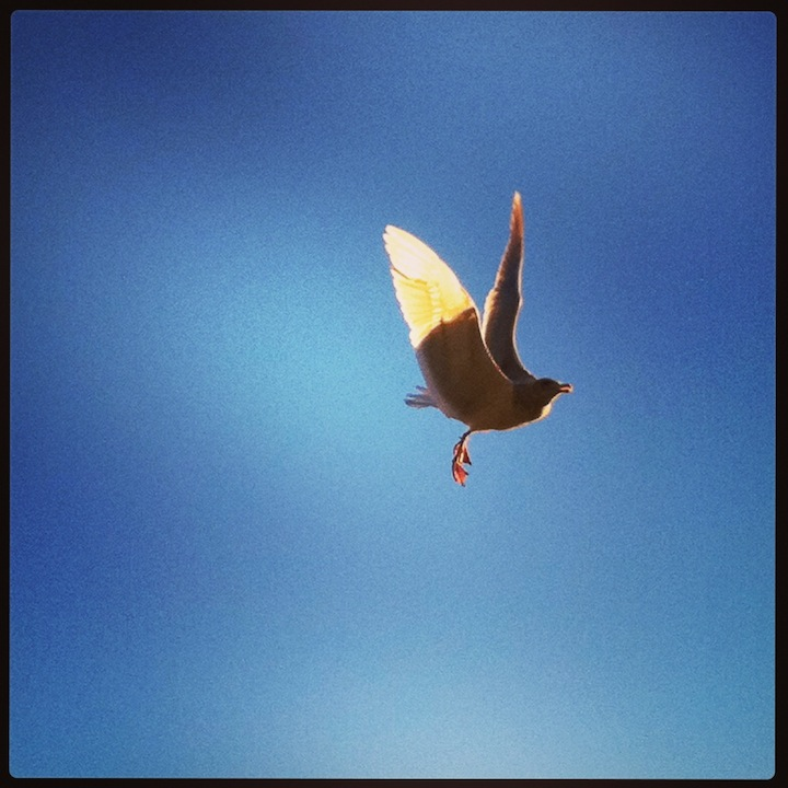 seagull-flying.jpg