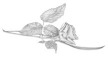 rose-bw-DRAWING-small.jpg