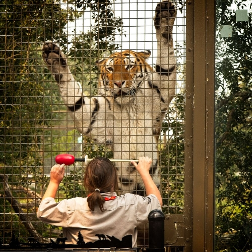 Tigers are Soldis' and my favourite animals. This is teenager Uri getting his weekly checkup at the Calgary Zoo.