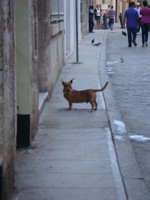 Watching dogs in Havana