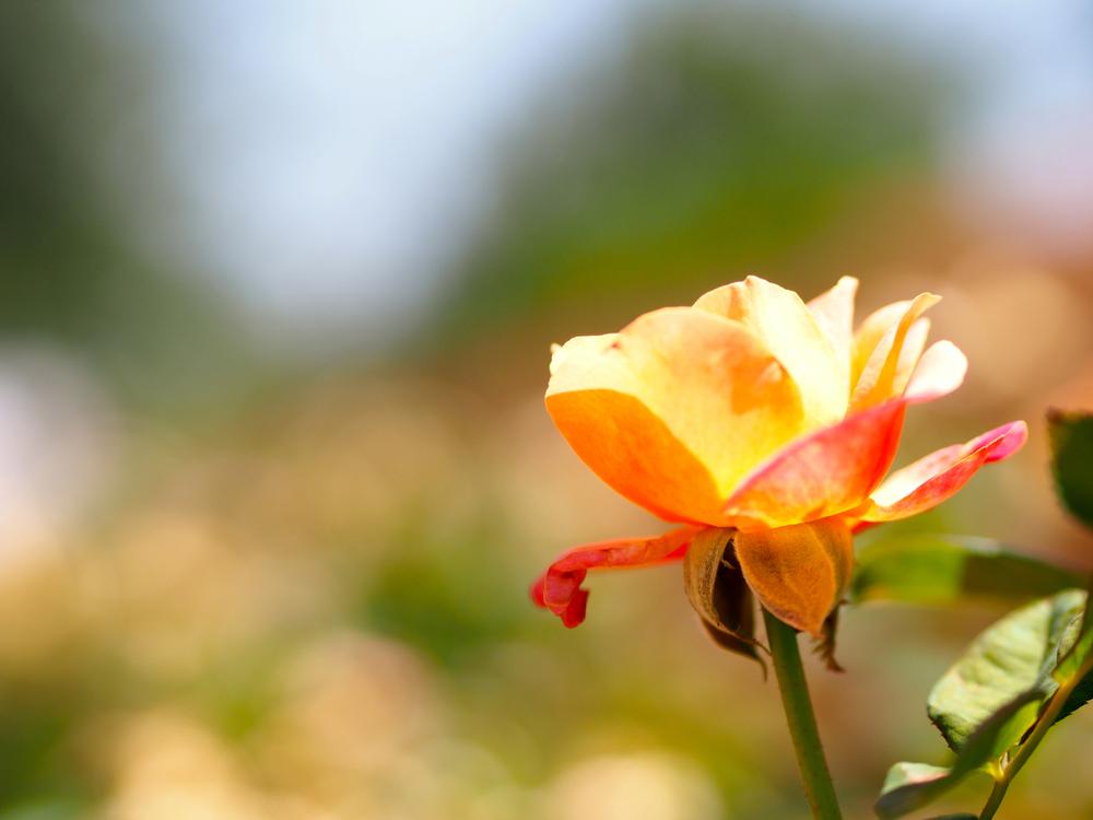 Heart O Gold Grandiflora Rose, Albuquerque Rose Garden