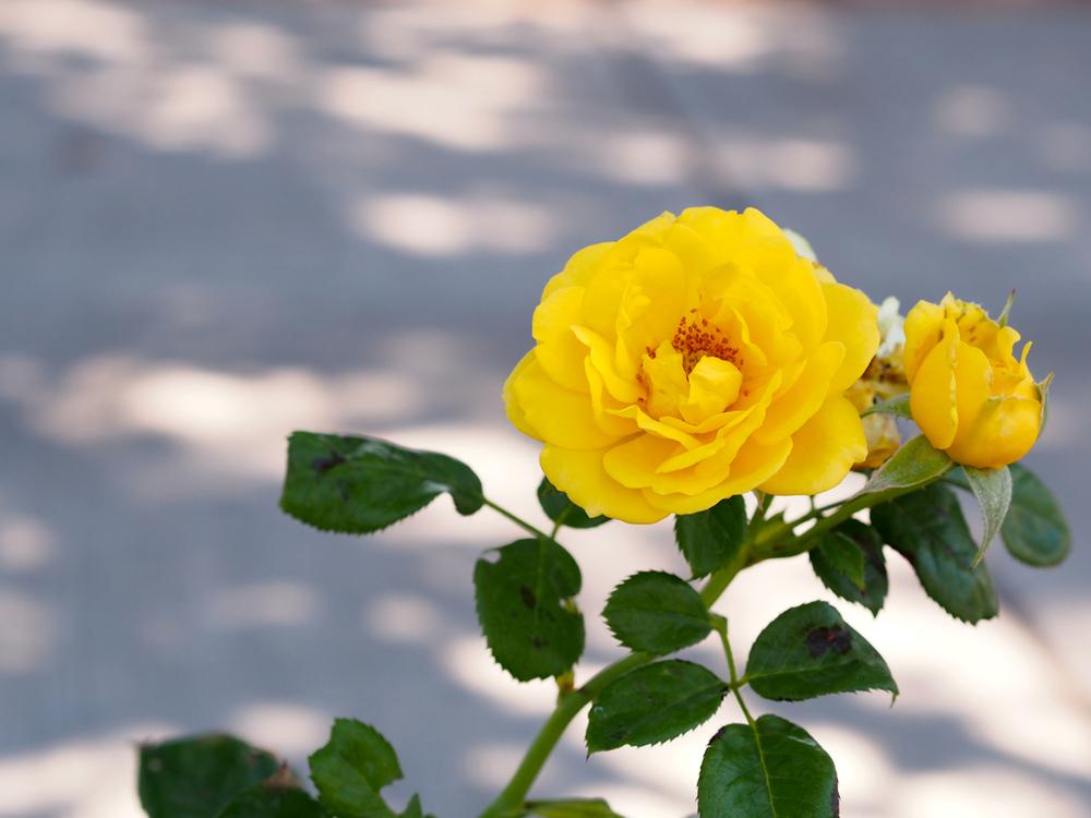 walking on sunshine rose