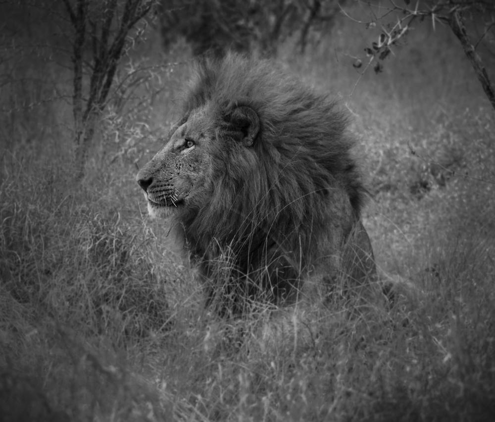 lionB&W.jpg