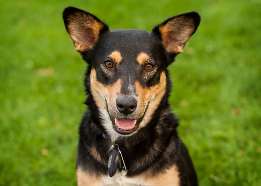 therapy dog Nova