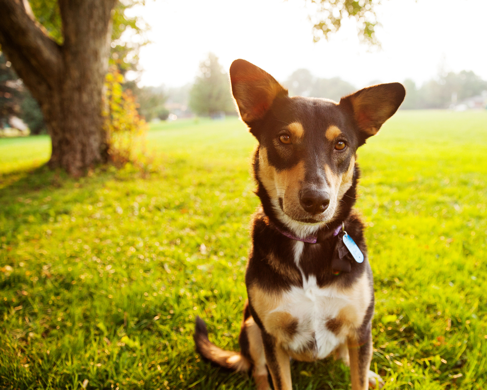 Nova therapy dog