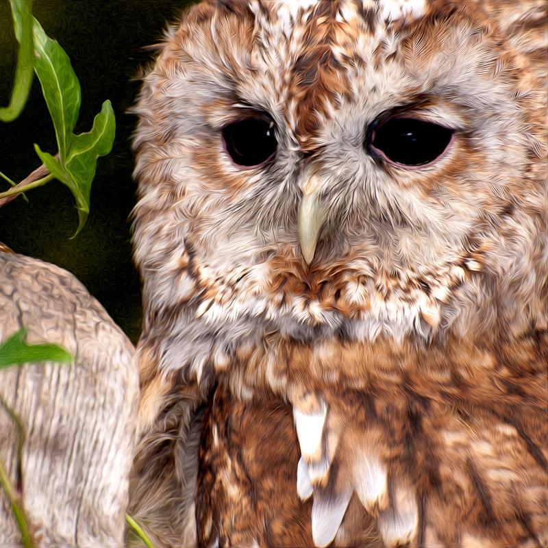 Tawny Owl By Victor Harris 5949.jpg