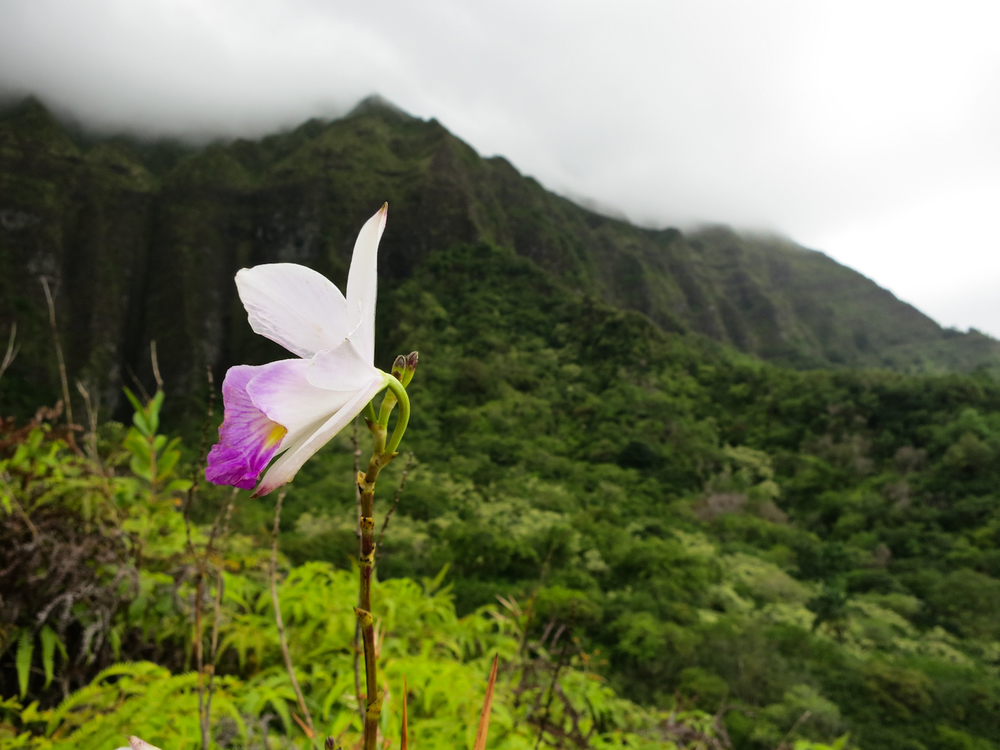 A pink orchid stands out in the lush green scenery of the Maunawili trail, Oahu Hawaii.