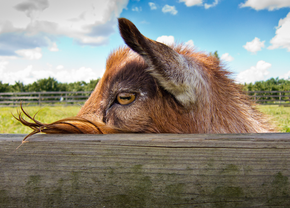 goat alongside fence at a farm