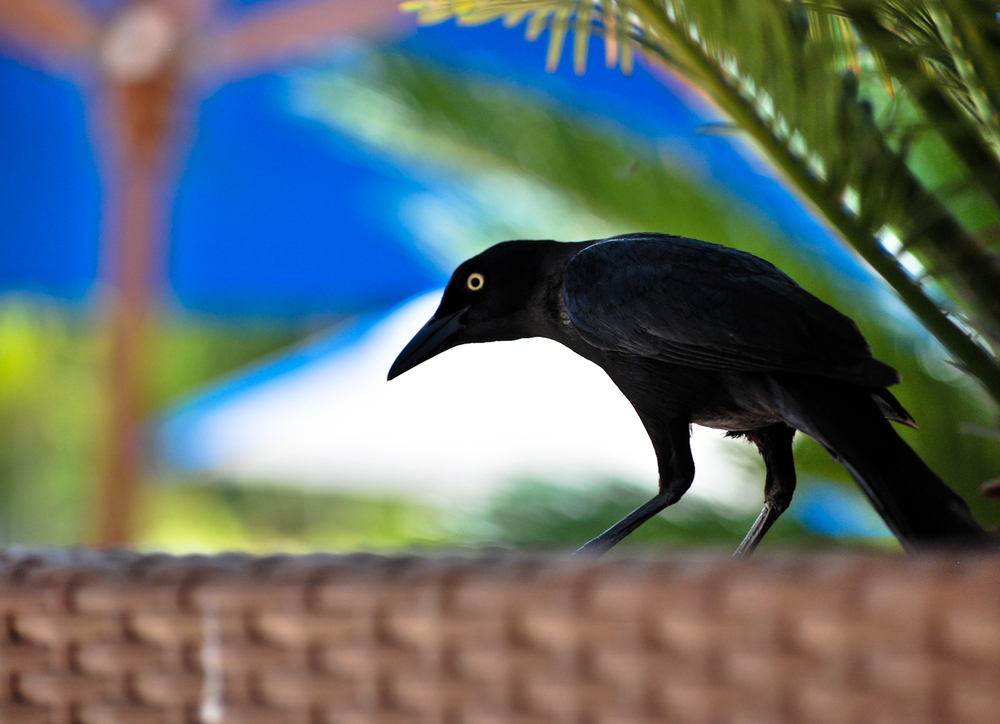 a black bird stalking the breakfast table