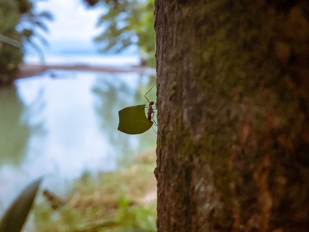 leafcutter-ant-ascends-tree-costa-rica.jpg