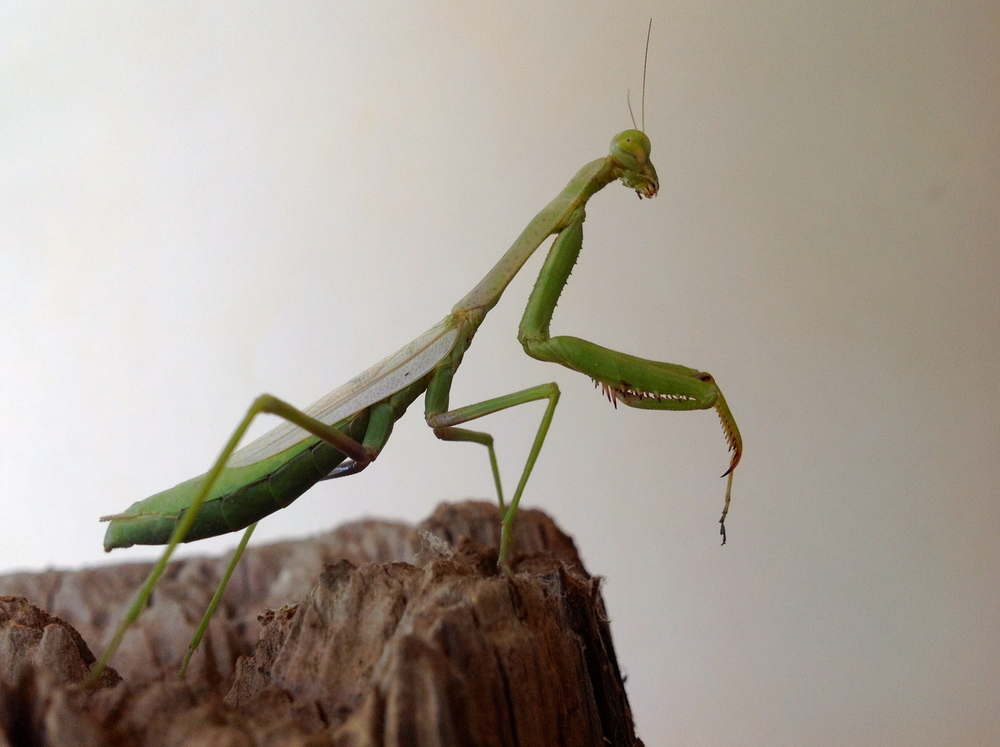 PrayingMantis.JPG