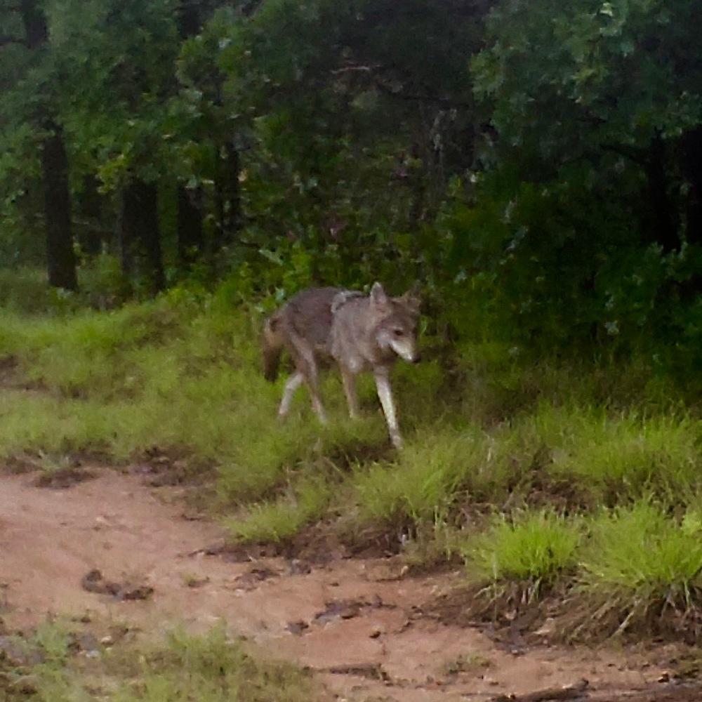 05070109 (Coyote).jpg