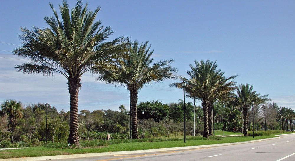 Donald Ross Road Palm Beach County Florida Landscape Date Palms.jpg