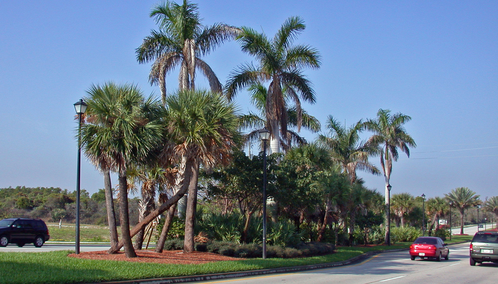 Donald Ross Road Palm Beach County Florida Landscape Native Royal Palms.jpg