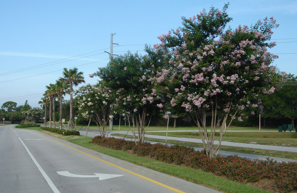 Toney Penna Drive Jupiter Florida Crepe Myrtles in Bloom.jpg