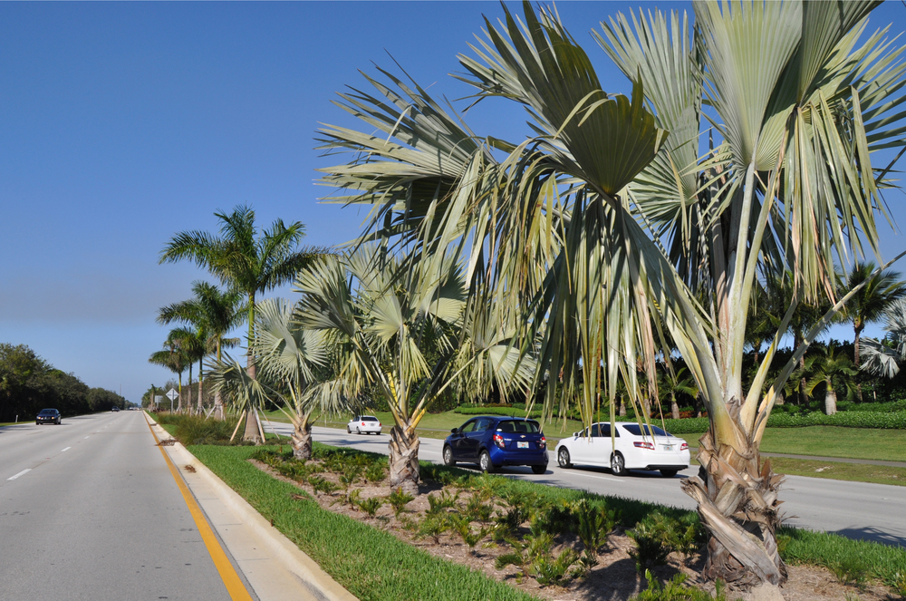 Alternate A-1-A Jupiter Florida Indiantown Road to Donald Ross Road Silver Bismark Palms.JPG