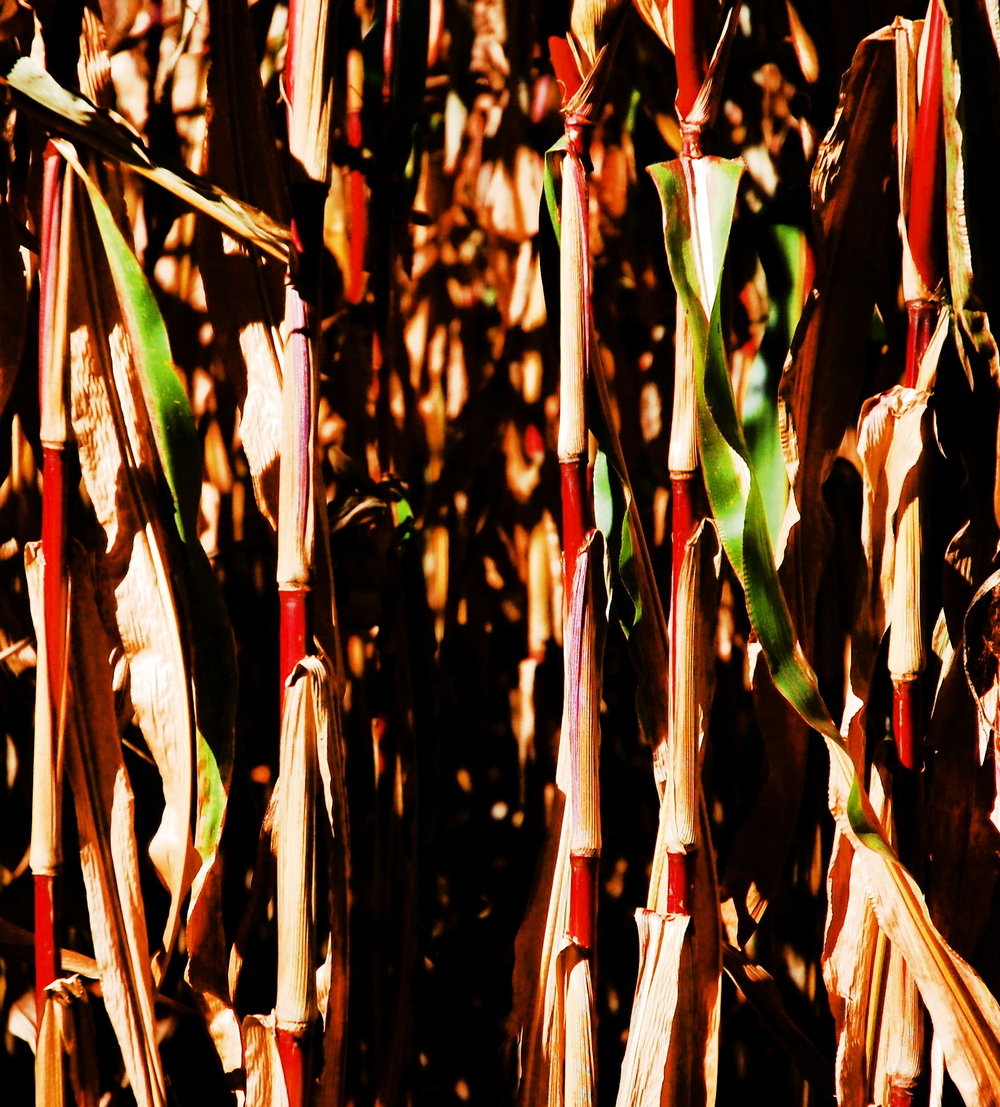 Fall corn stalks after a frost.
