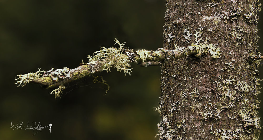 A lichen covered tree branch