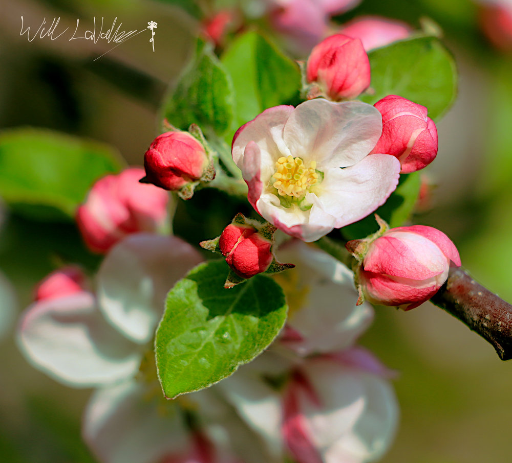 Apple Bloom 2.jpg