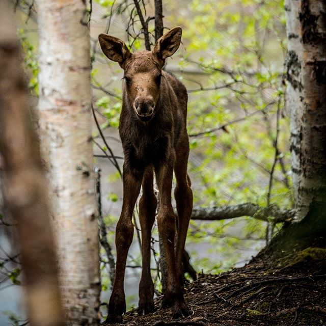 Baby Moose at Yukla Yurt, Eagle River Nature Center, Alaska May 2018
