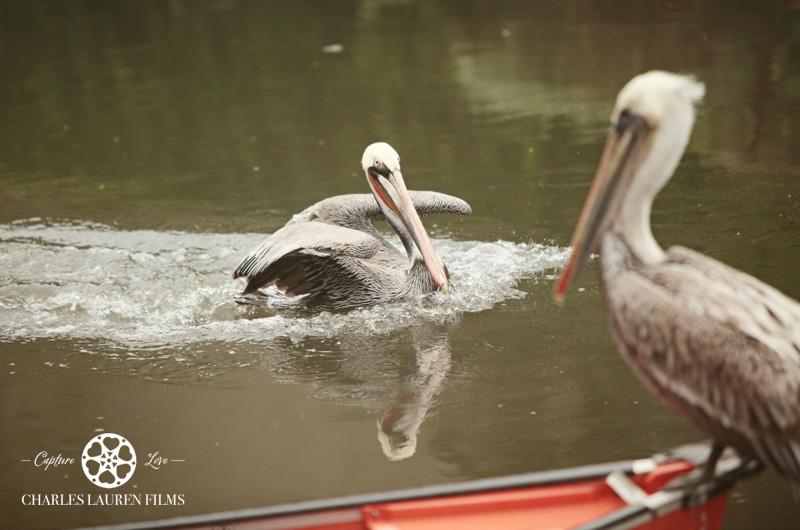 Pelican in Venice Canals