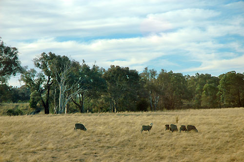 on reflection, I have to admit, they might not be kangaroos, afterall.