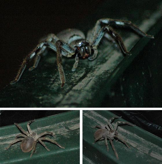 great big spider