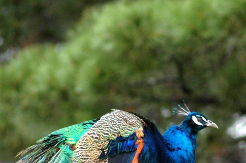 Montsalvat peacock