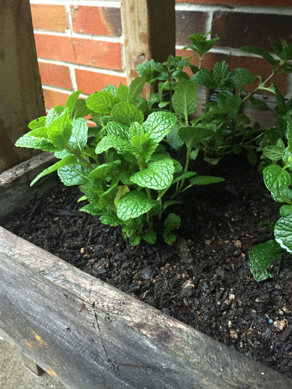#augustBreak2016 In love with my new herb garden #mint