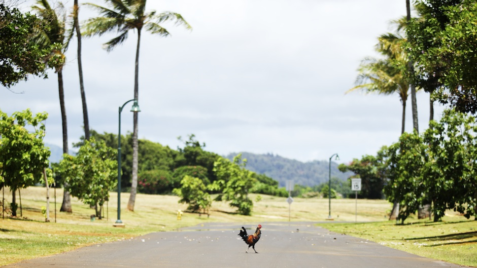 rooster on Kauai golf course