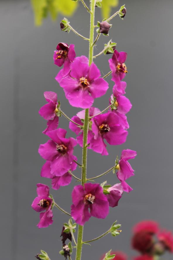 Verbascum phoeniceum 'Violetta'.JPG