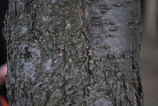 cherry-tree-bark.jpg