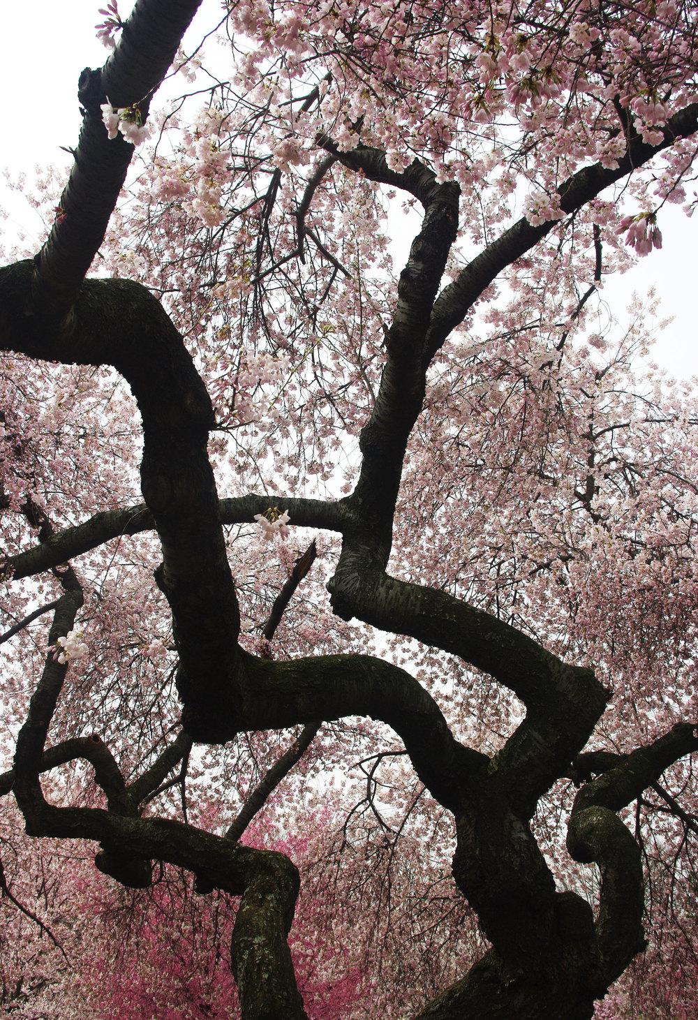 cherryblossom_trunks_lmh.jpg