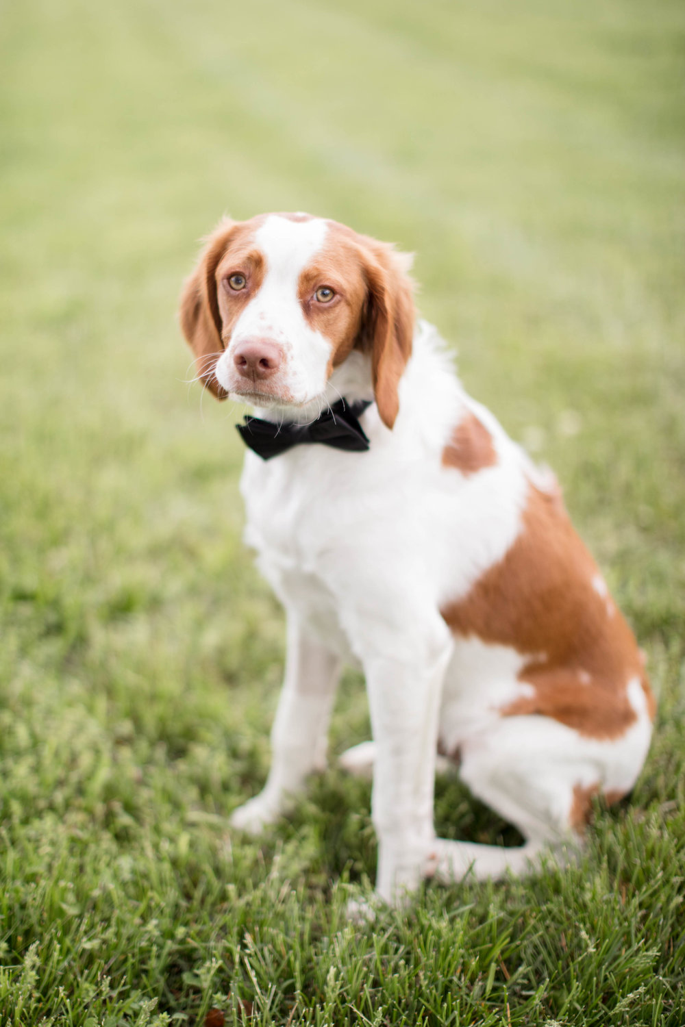 Wedding photography dog with bowtie