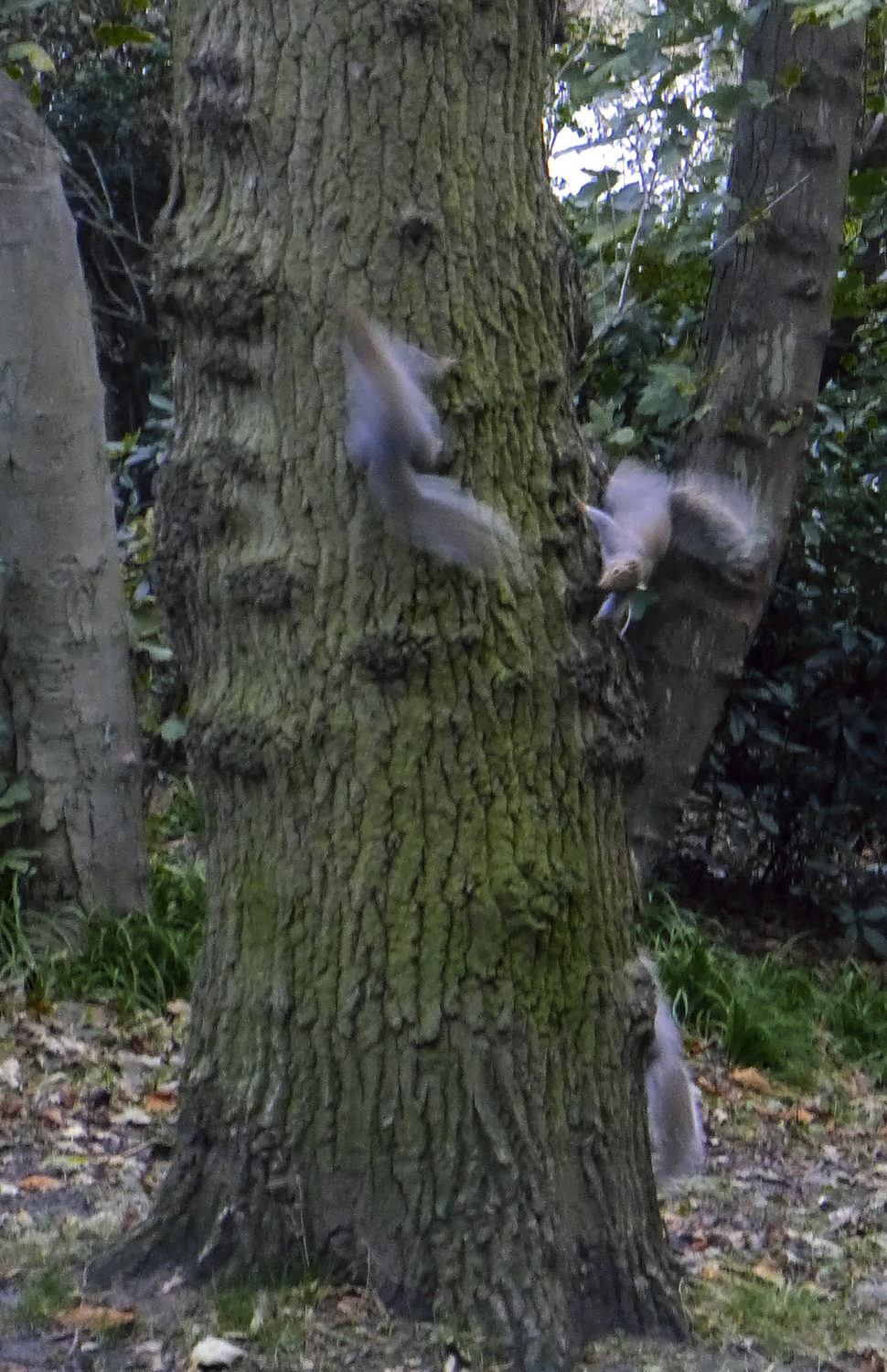 Three squirrels fighting. Two against one.   It was noisy and brief.