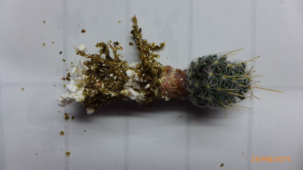 Mammillaria Duwei Roots 1.png