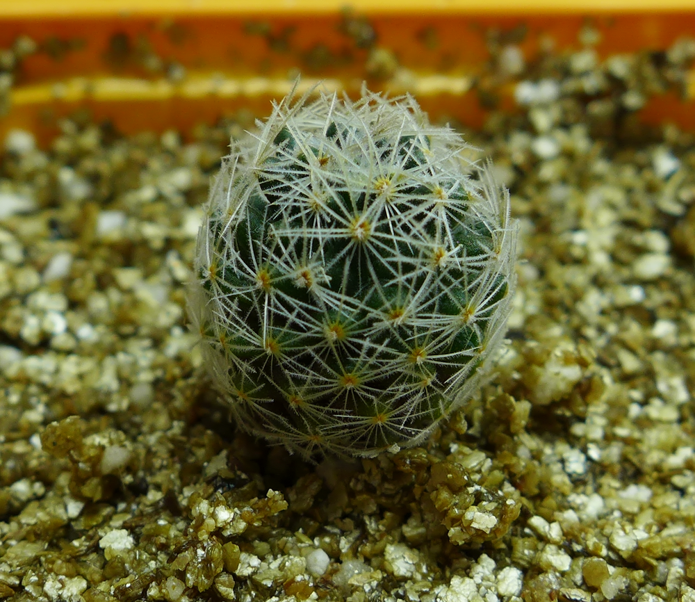 Mammillaria Duwei Repotted 2.png