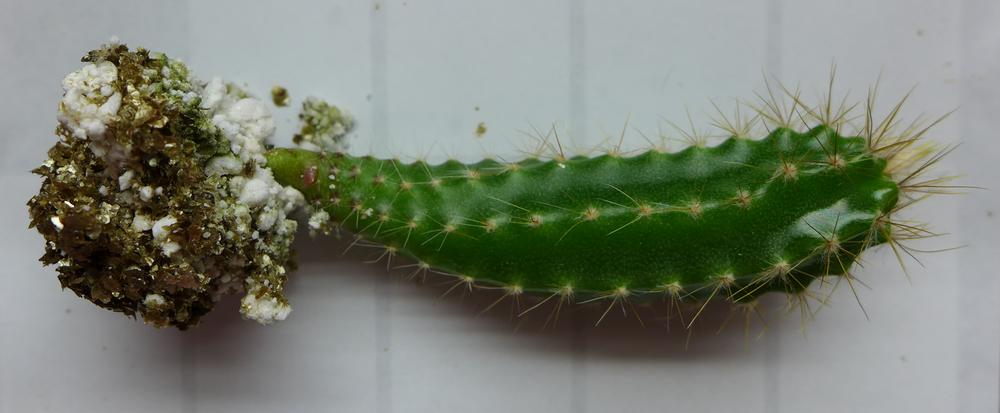 Cactus E A 1.png