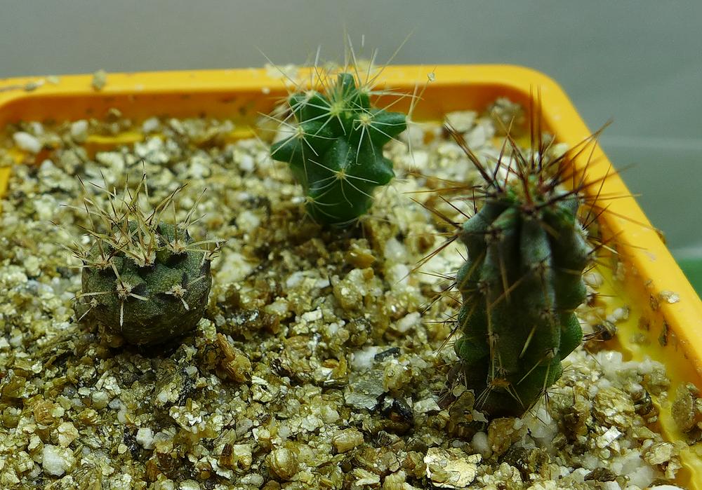 Cactus E Pot 54 a.png
