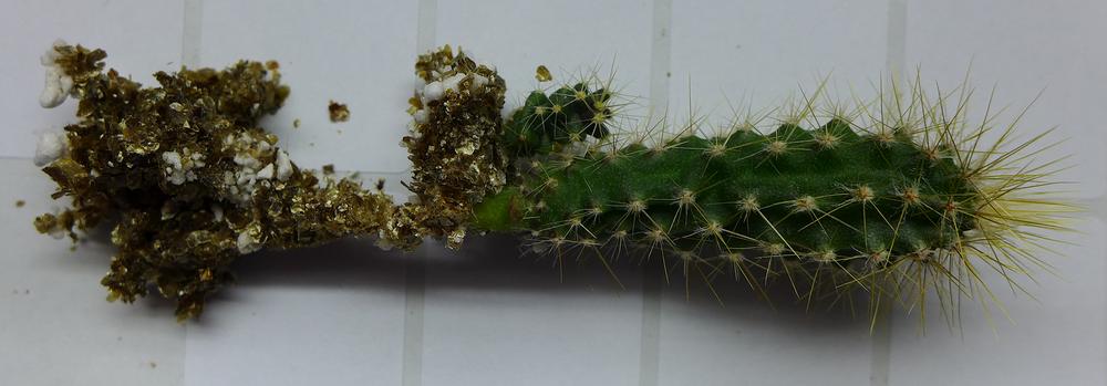 Pot 55 Cactus 230B Roots.png