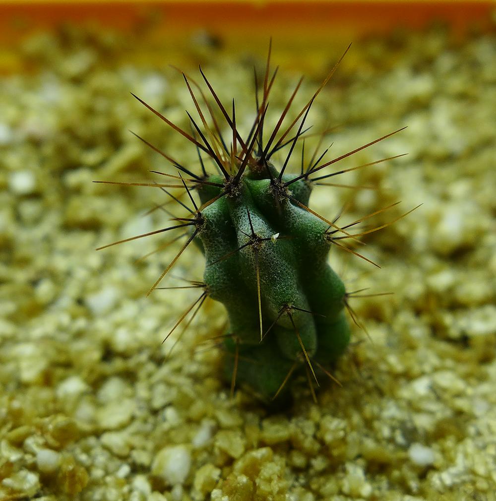 Pot 61 Cactus 230B.png