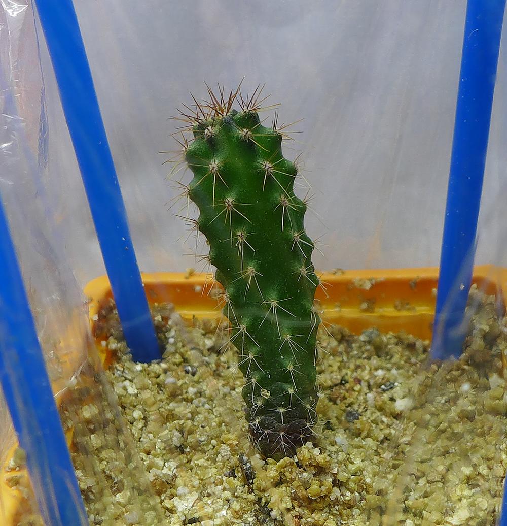Pot 68 Columnar Cactus.png