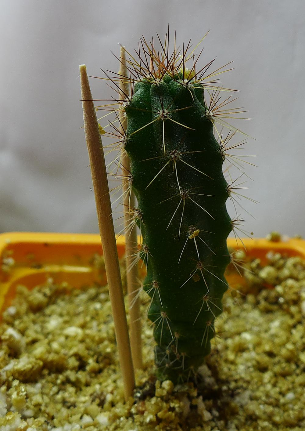 Pot 72 Columnar Cactus.png