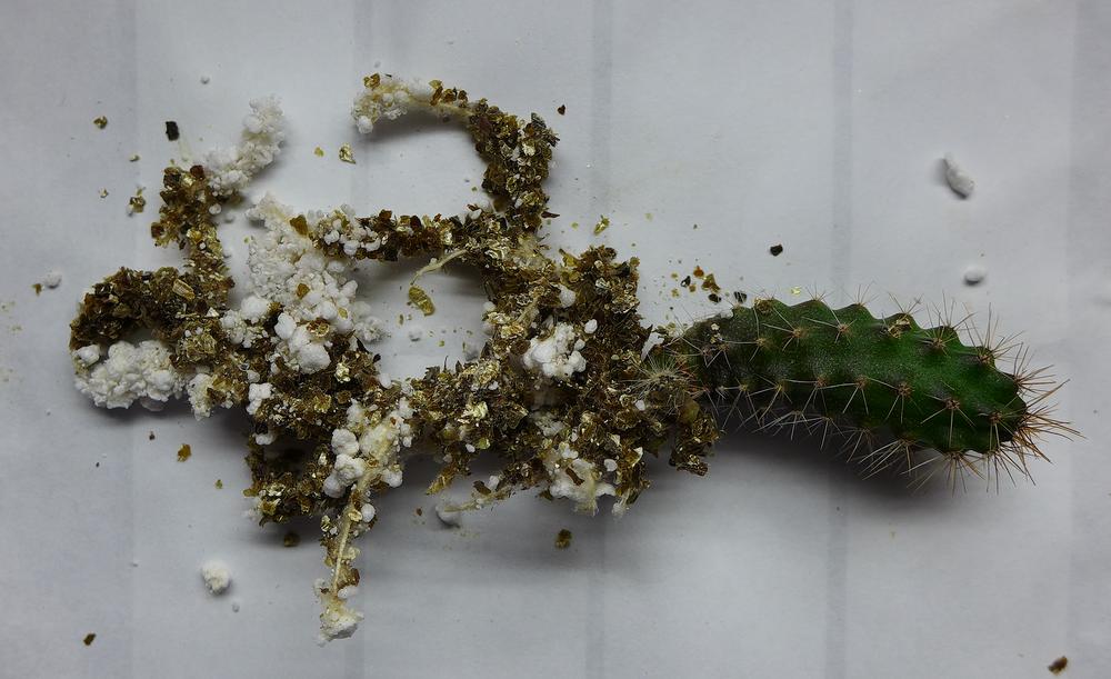 Pot 73 Columnar Cactus Roots.png