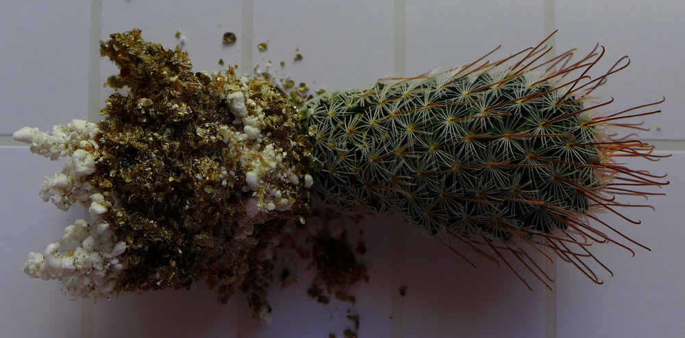 A [Mammilaria Duwei]: Sown 23-02-2014; germinated within two weeks; first repotted 25-02-2015; repotted 07-02-2016.