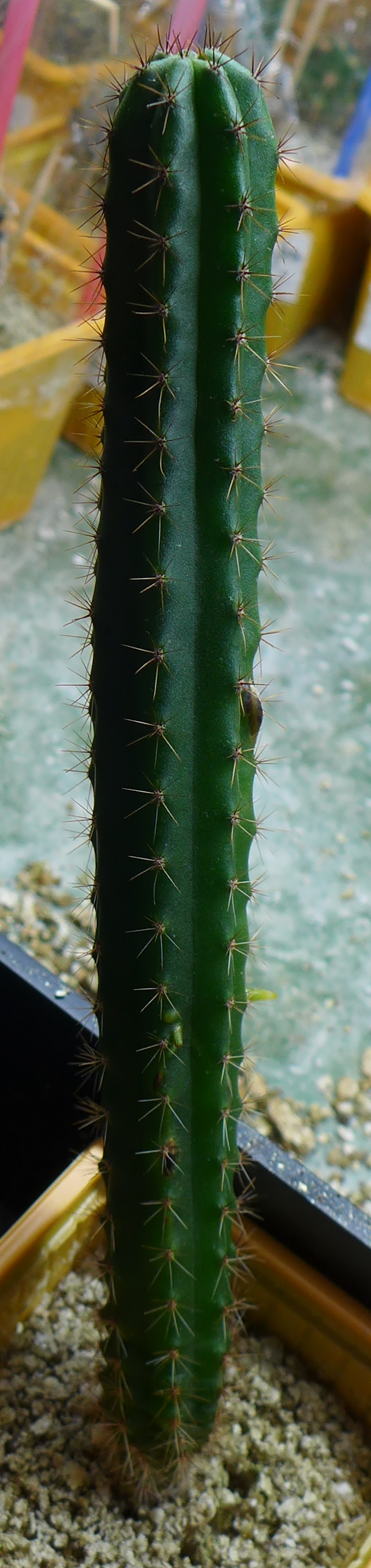 B: Sown [from Cactus 230D Columnar] 23-05-2014: germinated within two weeks;  first repotted 14-03-2015; repotted 07-02-2016.