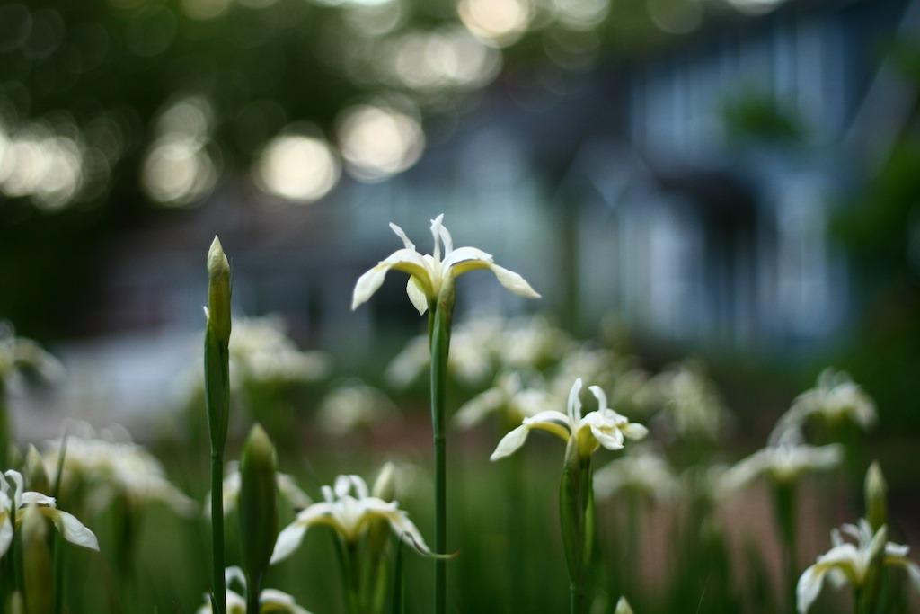 arborvale iris.jpg